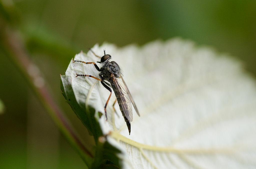 Seiden-Raubfliege (Machimus arthriticus)