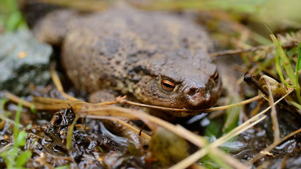 Erdkröte (Bufo bufo), Weibchen